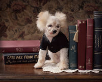 Petit chien maladroit en verres sur le bureau avec des livres photos stock