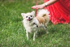 Petit chien mignon de chiwawa sur l'herbe verte Photo libre de droits