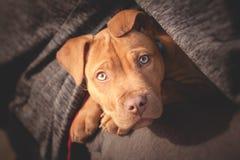 Petit chien mignon regardant de la poitrine du ` s de l'homme Image libre de droits