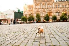 Petit chien mignon roux sur la rue photo libre de droits