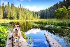 Petit chien mignon se tenant près du lac Photos stock