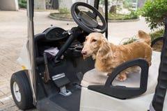 Petit chien mignon se tenant sur le vieux siège superficiel par les agents de chariot de golf Image libre de droits