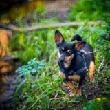 Petit chien noir dans la forêt photos libres de droits