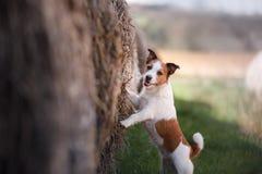 Petit chien par une meule de foin Animal familier sur la nature Photographie stock libre de droits