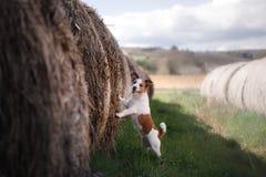 Petit chien par une meule de foin Animal familier sur la nature Photographie stock