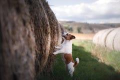 Petit chien par une meule de foin Animal familier sur la nature Images stock
