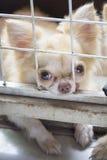 Petit chien pitoyable de chiwawa de brun de corps se reposant dans la cage Photographie stock libre de droits
