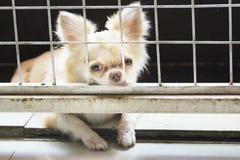 Petit chien pitoyable de chiwawa se reposant dans la cage Photos libres de droits
