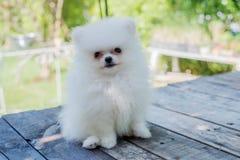 Petit chien pomeranian blanc Photo libre de droits