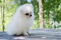 Petit chien pomeranian blanc Images libres de droits