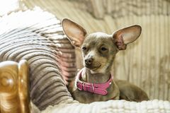 Petit chien se reposant sur le divan Photo libre de droits