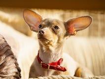 Petit chien se reposant sur le divan images stock