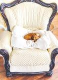 Petit chien se trouvant sur un oreiller blanc à la chaise de fantaisie Image libre de droits