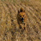 Petit chien sur la chaume Image stock