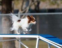 Petit chien sur la promenade de chien dans l'agilité Photo stock