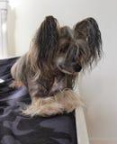 Petit chien sur le divan Images libres de droits