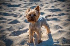 Petit chien terrier de Yorkshire Photographie stock libre de droits