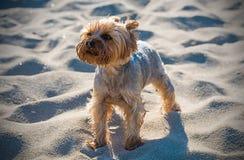Petit chien terrier de Yorkshire Photos stock