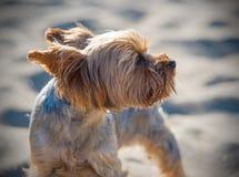 Petit chien terrier de Yorkshire Photo stock