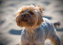 Petit chien terrier de Yorkshire Image stock