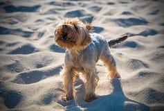 Petit chien terrier de Yorkshire Photo libre de droits
