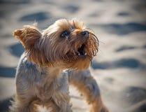 Petit chien terrier de Yorkshire Image libre de droits