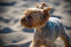 Petit chien terrier de Yorkshire Photos libres de droits