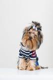 Petit chien terrier de Yorkshire drôle dans le pull Image libre de droits