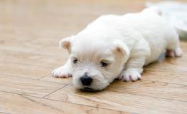 Petit chien terrier mignon Photo libre de droits