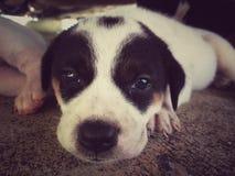 Petit chien thaïlandais mignon Photo stock