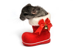 Petit chinchilla image stock