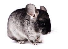 Petit chinchilla gris sur le fond blanc Photographie stock libre de droits