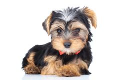 Petit chiot adorable portant le bowtie rouge Images stock