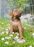 Petit chiot adorable se reposant entre le flowe d'été Images stock