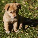 Petit chiot avec les yeux tristes se reposant dans l'herbe Images stock