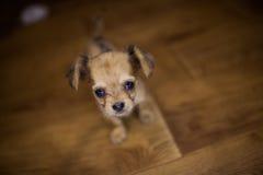 Petit chiot beau de chiwawa avec les oreilles drôles dans la cage Image stock