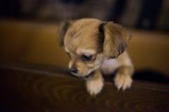 Petit chiot beau de chiwawa avec les oreilles drôles dans la cage Photographie stock