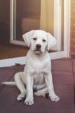 Petit chiot blanc mignon doux de chien de labrador retriever photographie stock libre de droits