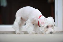 Petit chiot blanc que ce suivre sent Photo stock