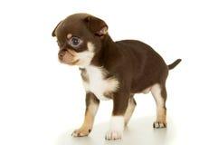 Petit chiot brun de chiwawa d'isolement photo libre de droits