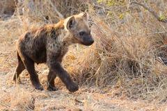 Petit chiot d'hyène jouant la marche en dehors de son repaire dans le début de la matinée Images libres de droits