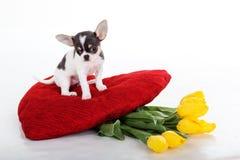 Petit chiot de chiwawa avec les fleurs jaunes et le coeur rouge Images stock