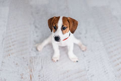Petit chiot drôle Jack Russell Terrier s'asseyant sur le plancher dans les fentes Photographie stock