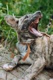 Petit chiot gris mignon avec le collier se reposant dans l'herbe et baîllant Images stock