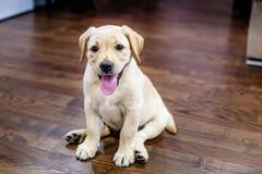 Petit chiot Labrador Maison le concept des animaux familiers Photos libres de droits