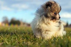Petit chiot Petit spitz-chien puppyPomeranian de Pomeranian Images stock