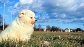 Petit chiot Petit spitz-chien puppyPomeranian de Pomeranian Images libres de droits