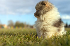 Petit chiot Petit spitz-chien puppyPomeranian de Pomeranian Photos stock
