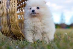 Petit chiot Petit spitz-chien puppyPomeranian de Pomeranian Photos libres de droits