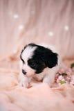 Petit chiot sur un fond rose photo stock